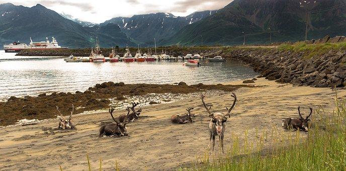 Reindeer, Fjord, Landscape, The Water's Edge, øksfjord