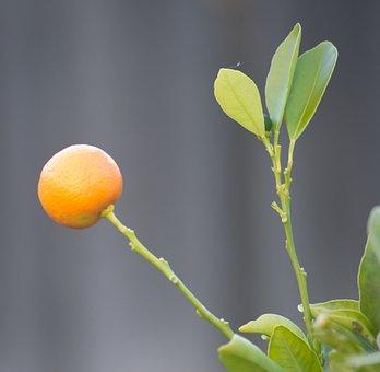 Fruit, Orange, Cumquat, Citrus, Green, Sweet, Kumquat