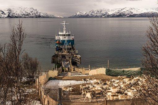 Reindeer, Transportation, The Moving Of The Reindeer