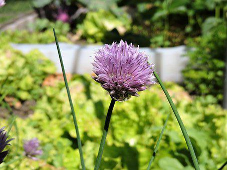 Chives, Blossom, Bloom, Violet, Garden, Chive Flowers