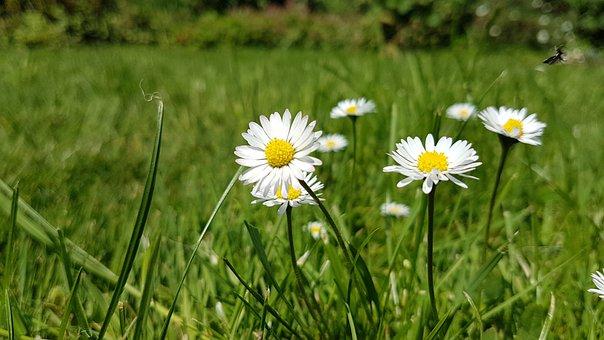 Flower, Meadow, Rush, Daisy, Nature, Green, White