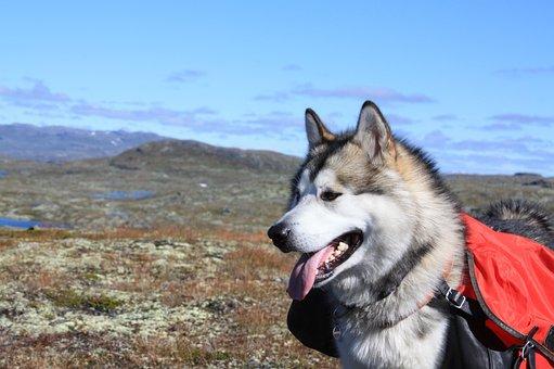 Alaskan Malamute, Climbed, Sled Dog