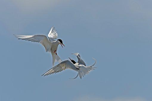 Arctic Tern, Arguing, Birds, North Sea