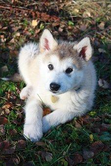 Baby Alaskan Malamute, Sled Dog, Dog