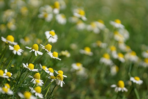 Chamomile, Plants, Camp, Grass, Wild, Plant, Flower