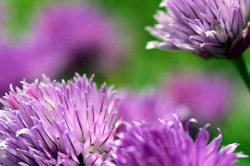 Chives, Blossom, Bloom, Nature, Plant, Purple