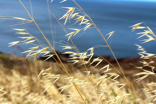 Nature, Coast, Madeira, Cereals, Grain, Plant, Close
