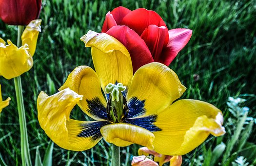 Flower, Tulip, Hdr, Colorful, Grass, Blades, Red