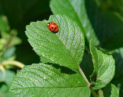 Ladybug, Insect, Wing Extended, Animal, Colorful Red