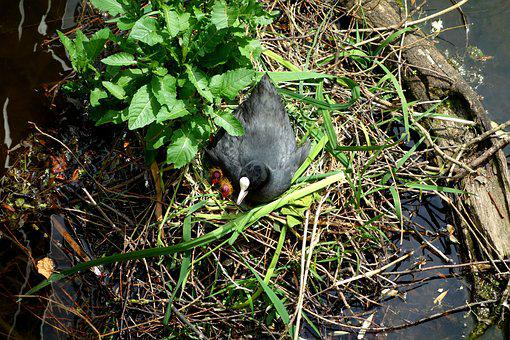 Coot, Ralle, Water Chicken Chicks, Young, Family, Nest
