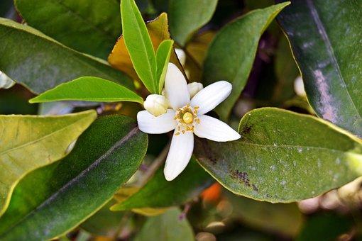 Jasmine, Flower, White, Petals, Flowers, Garden, Purity