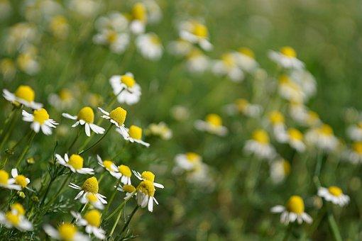 Chamomile, Plants, Camp, Grass, Wild, Plant, Flower