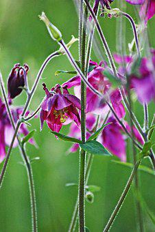 Columbine, Purple, Blossom, Bloom, Plant, Nature