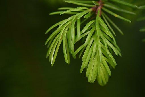 Spruce, Pine Branch, Nature, Branch, Conifer, Engine