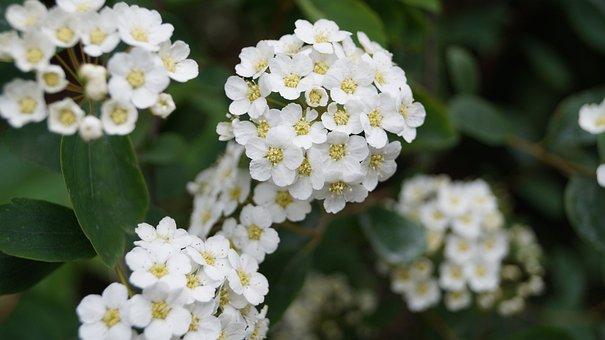 Flower, Hawthorn, White, Nature