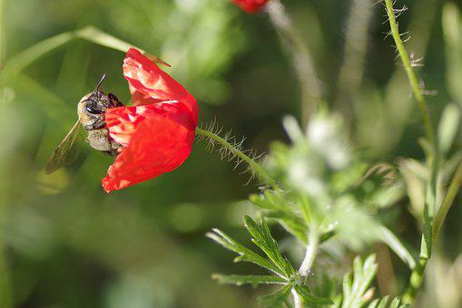 Poppy, Flower, Bee, Nectar, Red, Single, The Petals