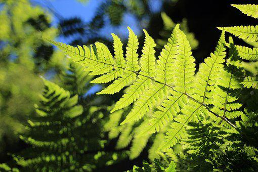 Fern, Green, Back Light, Plant, Nature, Forest