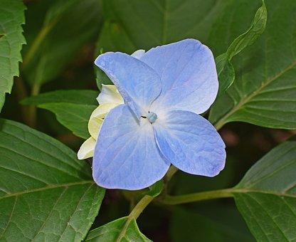Single Blue Hydrangea, Hydrangea, Blossoms, Flower
