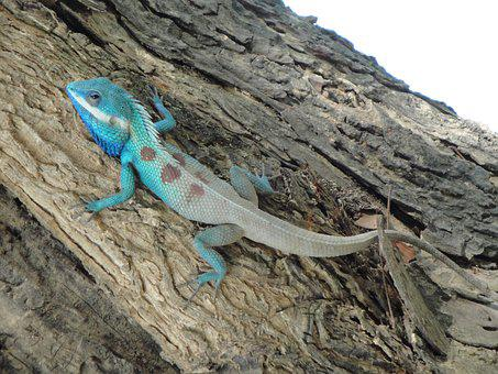 Tree Lizard, Animal, Iguana