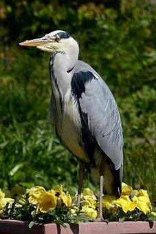 Bird, Eastern, Heron, Grey Heron, Ardeidae, Sitting