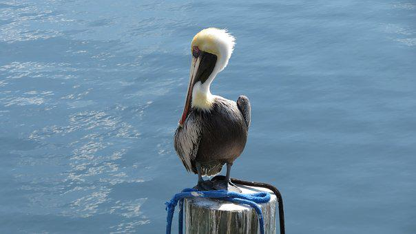 Pelican, Florida, Keys, Key Largo, Finding, Nemo, Bird