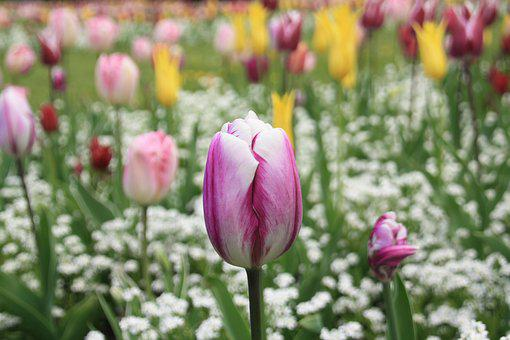 Tulip, Flower, Spring, Summer, Nature, Bloom, Blossom