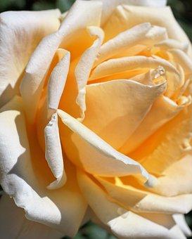 Rose, Yellow, Love, Symbol, Flower, Blossom, Bloom