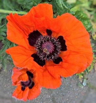 Poppy, Klatschmohn, Wild Plant, Large, Blossom, Bloom