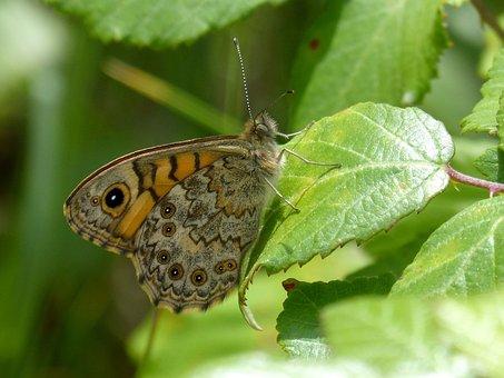 Vanessa Cardui, Butterfly, Leaf, Blackberry, Detail