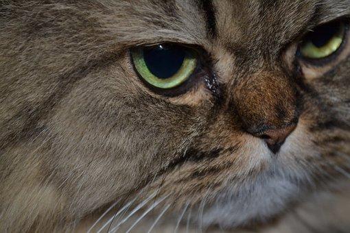 Cat, Persian Cat, Cat's Eyes, Domestic Cat