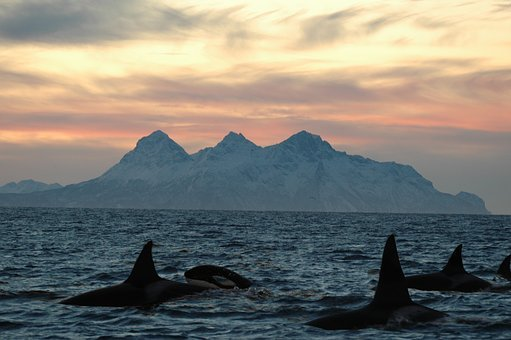 Orca, Lofoten Islands, Dusk, Seascape