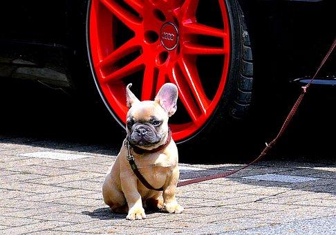 French Bulldog, Bulldog, Ears, Cute, Animal, Head, Fur