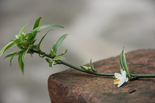 Blue, Orchid, Plant, Spider Plant, Flower