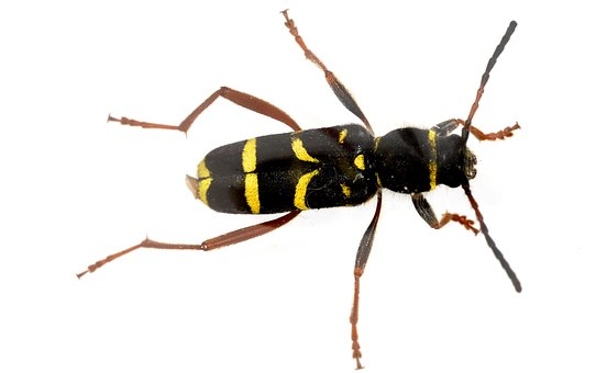 Wasp Beetle, Clytus Arietis, Beetle, Insect, Clytus