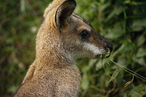 Kangaroo, Australia, Fur, Nature, Park, National