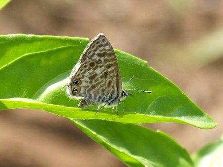Teenindusega Boeticus, Butterfly, Leaf, Detail
