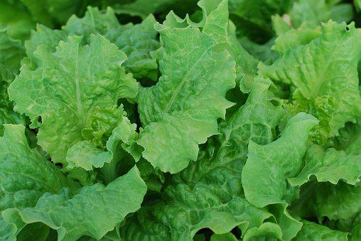 Salad, Lettuce, Leafy Greens, Fresh, Vegetable, Healthy