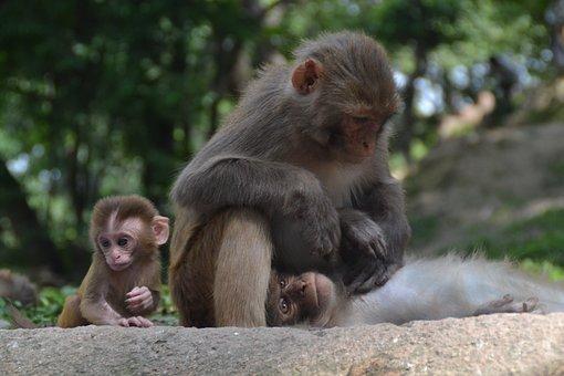 Monkey Baby, Monkey Nut, Monkey Child, Nepal