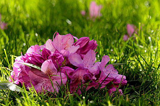 Plant, Rhododendron, Blossom, Bloom, Ericaceae, Pink