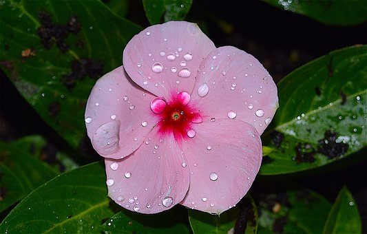 Flower, Rain, Dew, Pink, Vibrant, Garden, Macro, Plant