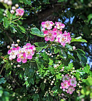 Apple Blossoms, Bush, Zieraepfel, Pink, White