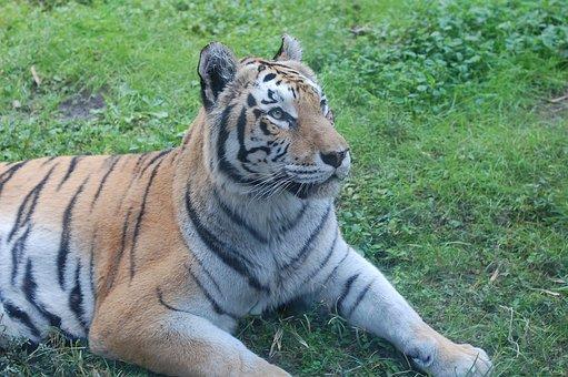 Tiger, Portrait Of A Tiger, Big Cat, Stripes, Tigris