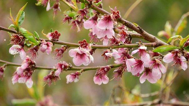 Peach, The Peach Tree, Prunus Persica