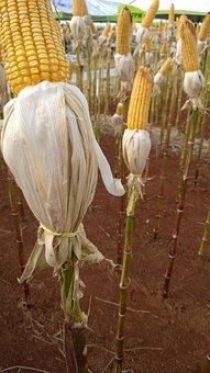 Corn, Amosta, Quality