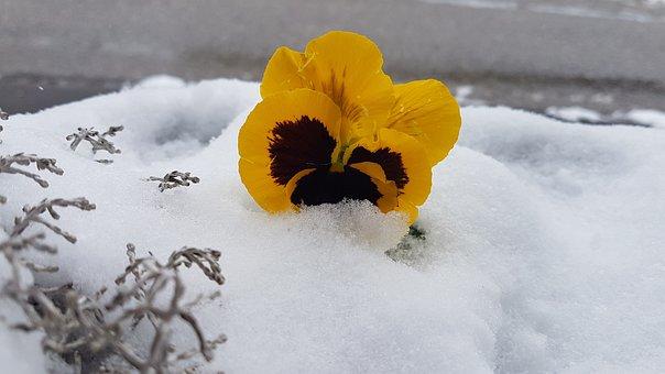 Violet, Snow, Altaussee, Spring