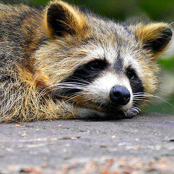Raccoon, Face, Sweet, Animal World, Furry, Head Drawing