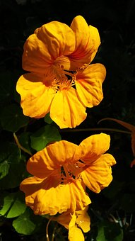 Yellow Flower, Nasturtium, Flowers