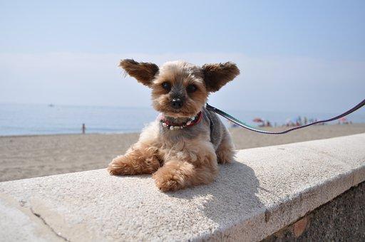 Dog, Hybrid, Mixed Breed Dog, Pet, Animal, Yorkshire