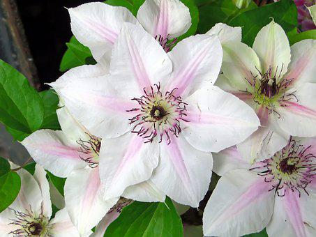 Clematis, Renonculacée, White Flower, Climbing, Annual