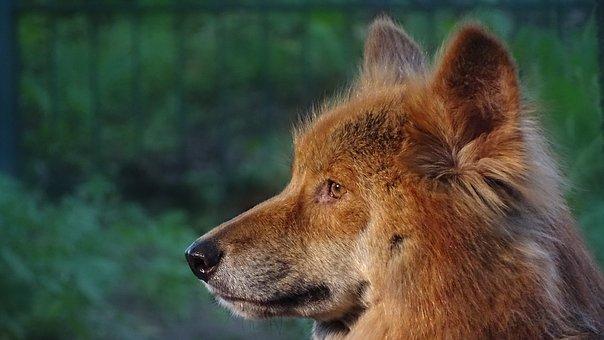 Animals, Dingo, Dingoes, Australian Dingoes, Australia